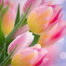 tulip Tom pouce